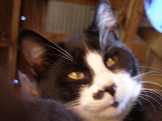 tête du chat Le-Valet avec ses yeux