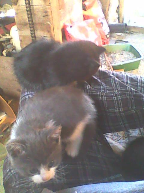 deux chatons aux genoux d'un homme