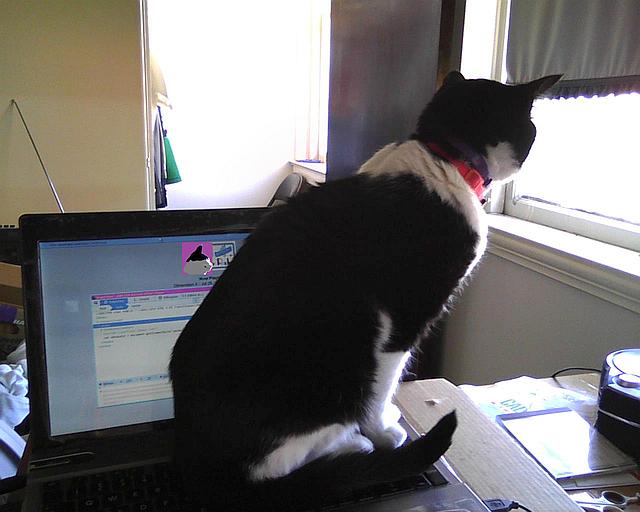 chat sur l'ordinateur qui regarde la fenêtre