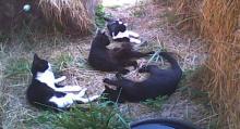 quartre chats au foin