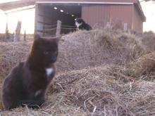 chats et balles de foin