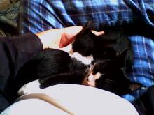 deux chats sur les genoux d'un humain